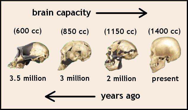 brain_evo