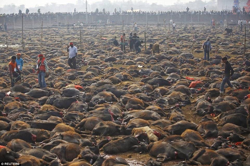 HinduGadhimaislaughter